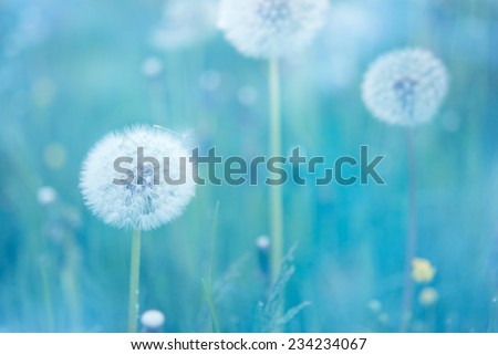 Close up of dandelion flowers with narrow depth of field - stock photo