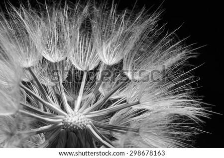 Close-up of dandelion (goatsbeard) on black background. Black and white image. Shallow DOF. - stock photo