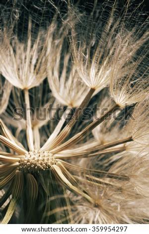 Close-up of dandelion (goatsbeard) on black background. Toned image. Shallow DOF, focus on center of seeds. - stock photo