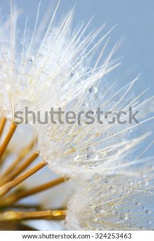 Close-up of dandelion (goatsbeard) with water drops against blue sky. Soft focus, shallow DOF. - stock photo