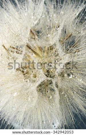 Close-up of dandelion (goatsbeard) with water drops. Shallow DOF. - stock photo