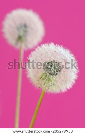 close up of dandelion isolated - stock photo