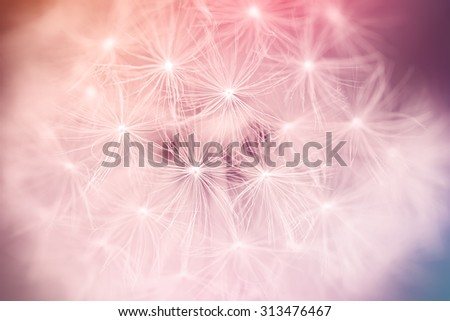 close up of Dandelion seeds with creative color and shallow focus - stock photo
