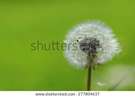 Close up of Dandelion.  With clean natural background in spring day - stock photo