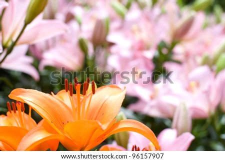 Close up of deep orange asiatic lily bloom in front of pink lily - stock photo