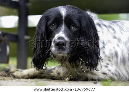 Close up of  dirty sad looking spaniel lying on yard after exercise, before bath time - stock photo