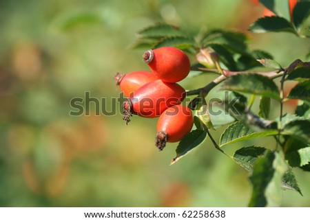 Close-up of  dog-rose - stock photo