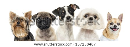 Close-up of dogs in a row, isolated on white - stock photo