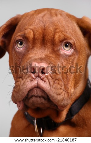 close-up of dogue de bordeaux over grey background, focus on right eye - stock photo
