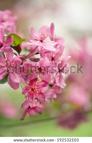 Close up of Dogwood tree flowers in Illinois in May - stock photo