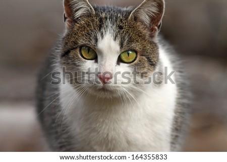 close-up of domestic cat portrait - stock photo