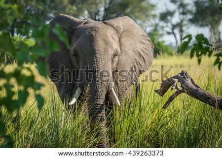 Close-up of elephant behind bush facing camera - stock photo