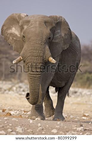 Close-up of Elephant bull walking in rocky field; Loxodonta Africana - stock photo