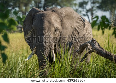 Close-up of elephant in grass facing camera - stock photo