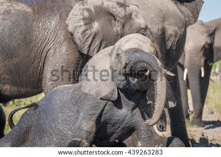 Close-up of elephant trying to get up - stock photo