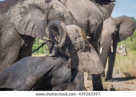 Close-up of elephant trying to stand up - stock photo