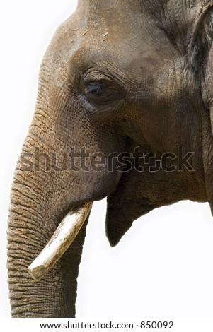 close up of elephants head isolated - stock photo
