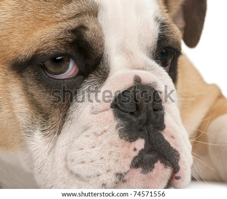 Close-up of English bulldog puppy, 4 months old, in front of white background - stock photo