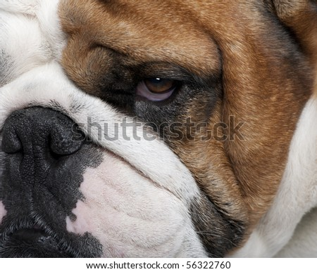Close-up of English Bulldog, 2 years old - stock photo