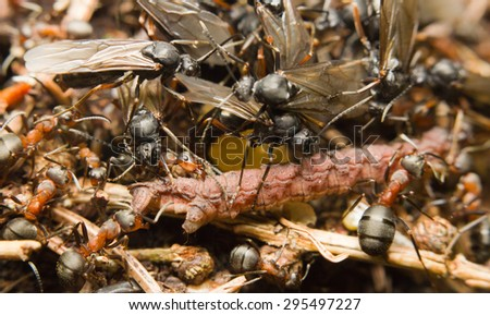 Close-up of European red wood ants (Formica rufa) dragging a caterpillar to their nest - stock photo