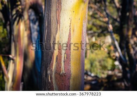 Close up of extraordinary yellow eucalyptus tree trunk texture with bark off. Tree bark texture, eucalyptus. Shallow DOF - stock photo