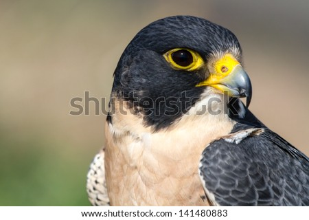 Close up of eye and beak of Peregrine Falcon - stock photo