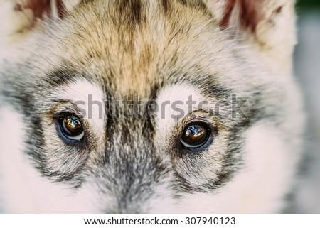 Close Up Of Eyes Of Husky Dog Puppy Whelp - stock photo