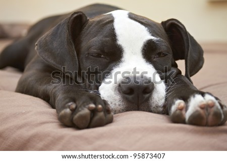 Close-up of face and paws of Pit Bull puppy sleeping on bed - stock photo