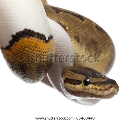 Close-up of Female Pinstripe Pied Royal python, ball python, Python regius, 14 months old, in front of white background - stock photo