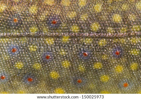 Close up of fish  trout skin pattern spots and laterl line - stock photo