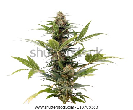 Close up of flowering Cannabis lowrider plant - stock photo