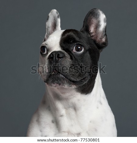Close-up of French Bulldog, 9 years old, in front of grey background - stock photo