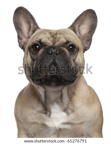 Close-up of French Bulldog, 2 Years old, in front of white background - stock photo