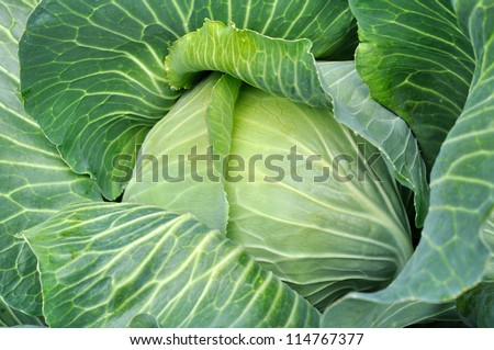 close-up of  fresh cabbage in the vegetable garden - stock photo