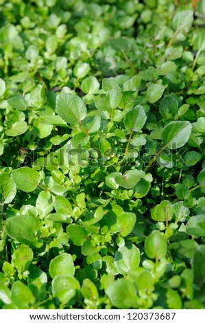 Close up of fresh growing water cress - stock photo