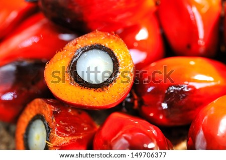 Close up of fresh oil palm fruits, selective focus.   - stock photo