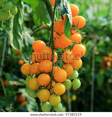 Close up of fresh orange tomatoes still on the plant - stock photo
