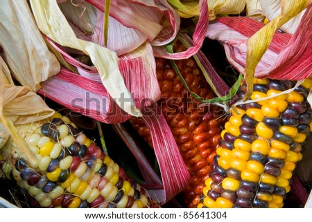 close up of freshly harvested American Indian corn in a basket - stock photo