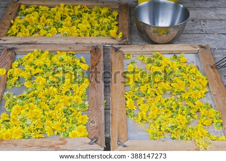 Close up of freshly picked dandelion flowers and flower petals are dried on  wooden frame screens and silver bowl on wooden rustic porch. - stock photo
