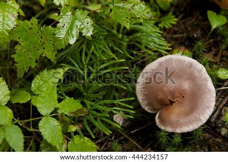 Close up of fungi amongst wet foliage/ - stock photo
