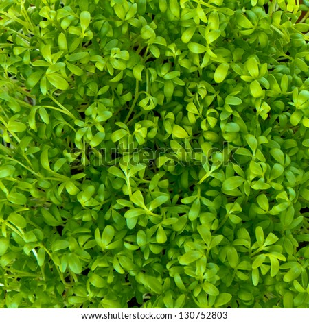 close up of garden cress - stock photo