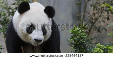 Close up of giant panda - stock photo