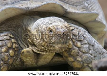 Close up of giant tortoise - stock photo
