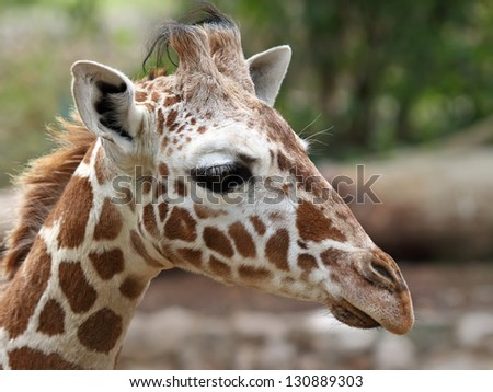 close up of giraffe - stock photo