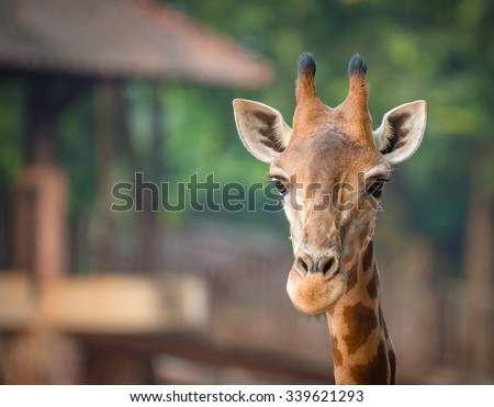 close up of giraffe face - stock photo