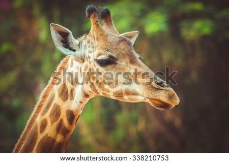 close up of giraffe face , vintage - stock photo