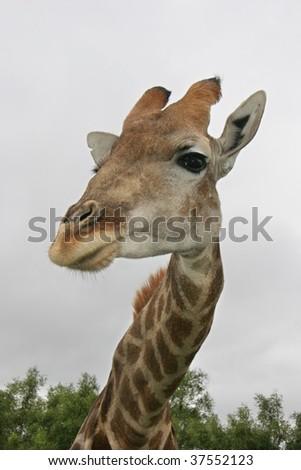 Close up of Giraffe looking - stock photo
