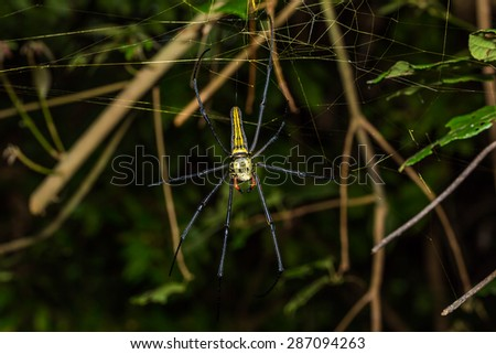 Close up of golden orb weaver or giant wood spider or banana spider (Nephila pilipes) on its web in nature, dorsal view - stock photo