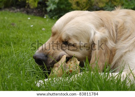 Close up of Golden Retriever dog chewing on a bone in garden. - stock photo