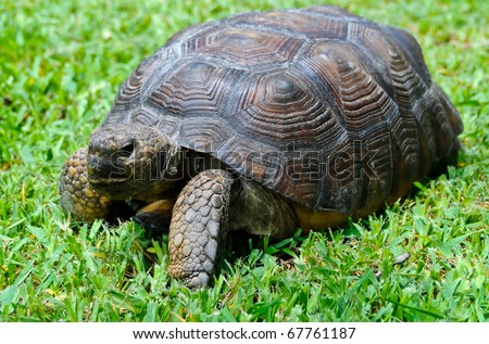 Close up of gopher tortoise in Florida, endanged animal - stock photo